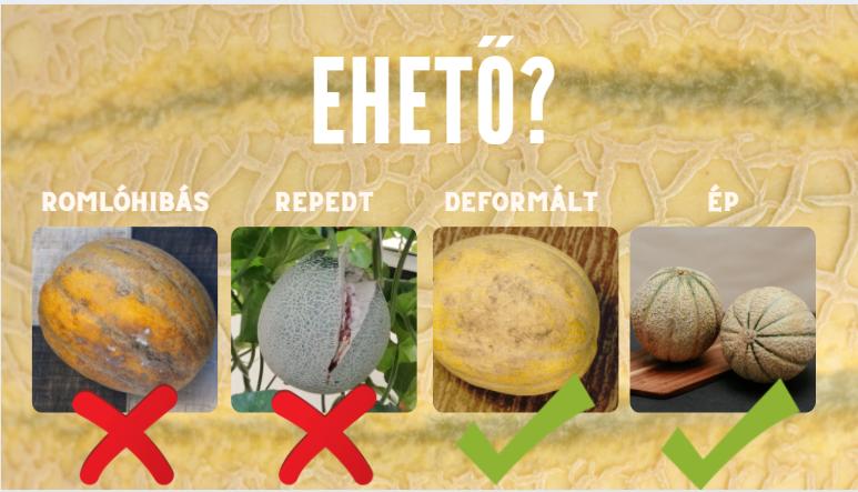 Ehető? A képen 4 féle sárgadinnye látható különböző hibákkal, jelezve melyik ehető, és melyik nem A romlóhibás nem ehető. A repedt nem ehető. A deformált ehető. Az ép ehető.